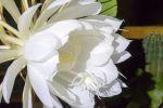 User:Lynne Name:Night Blooming Cereus 2.jpg Title:Night Blooming Cereus 2.jpg Views:3 Size:89.01 KB
